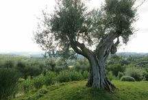 Ancient fruit trees