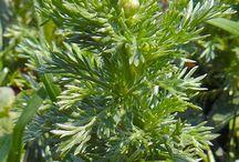 Matricaire odorante - Pineappleweed