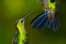 Hummingbirds-beijaflores