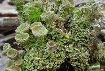 Lichens....