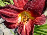 Daylily (Hemerocallis) - a perennial plant whose flowers typicaly last no more than 24 hours.