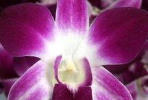 Orchids - Dendrobium