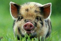 """""""mini pigs"""""""