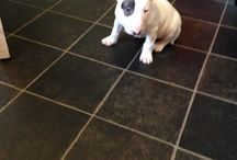 Clarry the English Bull Terrier