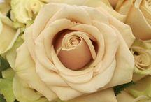 Sahara cream rose