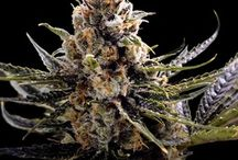 Cream Of The Crop / The Very Best Of Dr Chronic