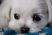 Maltese / For all people who love these adorable dogs.