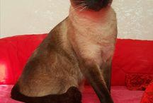 By. Kucak  Siame Cat