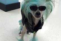 Pokey Man / Hairless Chinese Crested, creative grooming, color, doggy clothes, dog