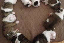 Anything and everything English bulldogs / by kimberly parks