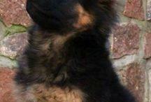 Κουτάβια german shepherd