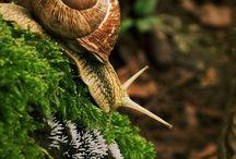 Snail - escargot - heliciculture / un escargot dans son jardin
