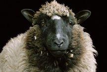 Sheep   Pigs   Cows