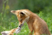 Foxes ♡