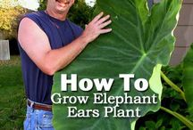 Projects to Try / Giant Elephant ear