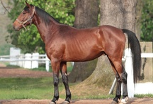 Czech Warmblood / country of origin - Czech Republic | average height ca. 160 cm | colours - black, bay/brown, chestnut, grey, dilutes (cream) | uses - general riding, dressage, show jumping