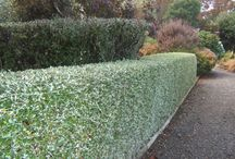 Hedges, Privacy Screens and Windbreaks