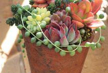 Succulents/suculentas / Só elas !!!