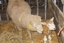 My Adopted Sheep