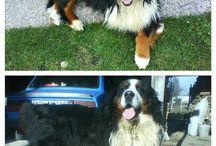 Arni / my bernese mountain dog