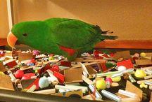 Papegøyesmart