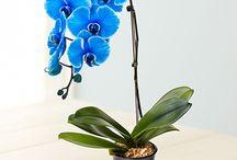 синие фаленопсис