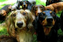 Dogs Part 3 Dachshunds / by Gayle-Jb Franklin