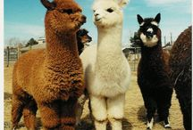 Alpaca misc / by Rock Garden Alpacas & Inspired Creations by D