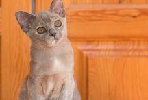 Burmese Cats  / • www.silkysense.gr  • Selective Breeding of Bengal & Burmese Cats in Greece • FIFe & TICA Reg. Cattery