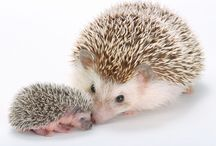 Hedgehogs /  They Are So Cute