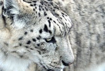 Snow Leopards / by Kori Hiser