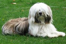 """Tibetan Terrier Love / The most delightful dogs in the world! We adored our first TT, Lucy, and now we're equally as enamored with Daisy. One of the 7 ancient breeds. Considered as family members and good luck charms by Tibetan monks, their original owners. Called """"The Little People"""", they're very child-like. Wonderful companions! Great size--avg weight 20-25 lbs. Considering the breed? Watch TT videos on youtube to get a feel for their personalities."""