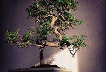 Bonsai / Bonsai table for bonsai lovers