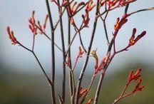 Natives / Australian Native Flowers and Foliage