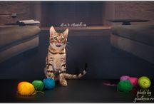 Бенгальские кошки / Питомник бенгальских кошек http://bengalhouse.ru/