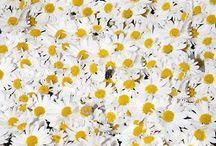 daisies / by Hannah Stubbs