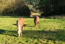 My horses Varg and Odin