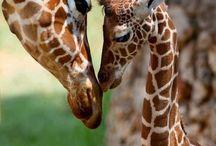 Baby shower / Giraffe