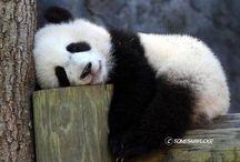 Pandas / Amor maior: pandas.