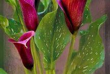 calas lilies