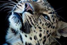Leopards,puma