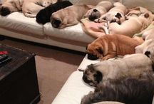 pugs / massive attack on the sofa