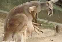 kangaroo!!!!