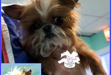 Brussels Griffon / rare breeds groomed at our salon