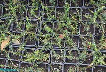 Frutos del bosque y exóticos / Somos productores de pequeños frutos y de otras especies frutales exóticas