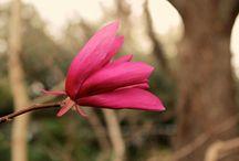 magnolia magenta