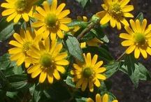 SANVITALIA / Varieties and Colours