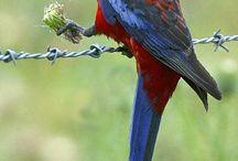 Platycercus / Il genere Platycercus è costituito da sette specie suddivise a loro volta in 24 sottospecie. Si tratta di pappagalli di media taglia straordinariamente belli ed appariscenti, originari dell'Australia e della Tasmania.
