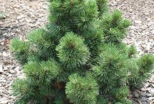 Pinus leucodermis (syn.heldreichii)-Balkáni páncélfenyő