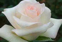 Rózsák-Roses
